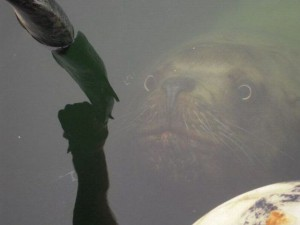 misc seal looking at fish