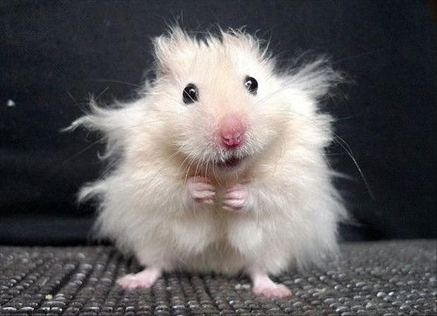 cute hamster, funny pictures