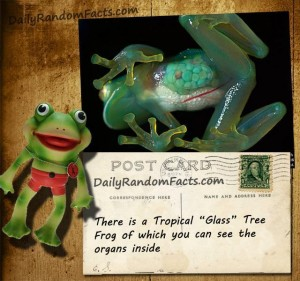 Glass Tree Frog Fact - Copy