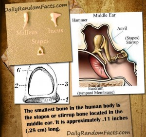 Ear Bone Facts