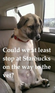 dog on way to starbucks, funny animals