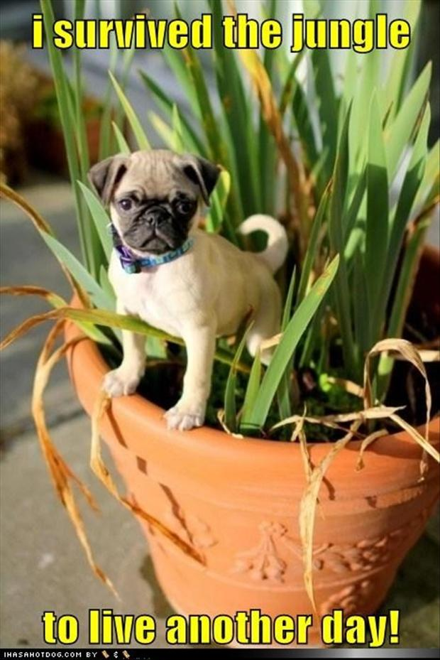 1 pug dogs, in the jungle