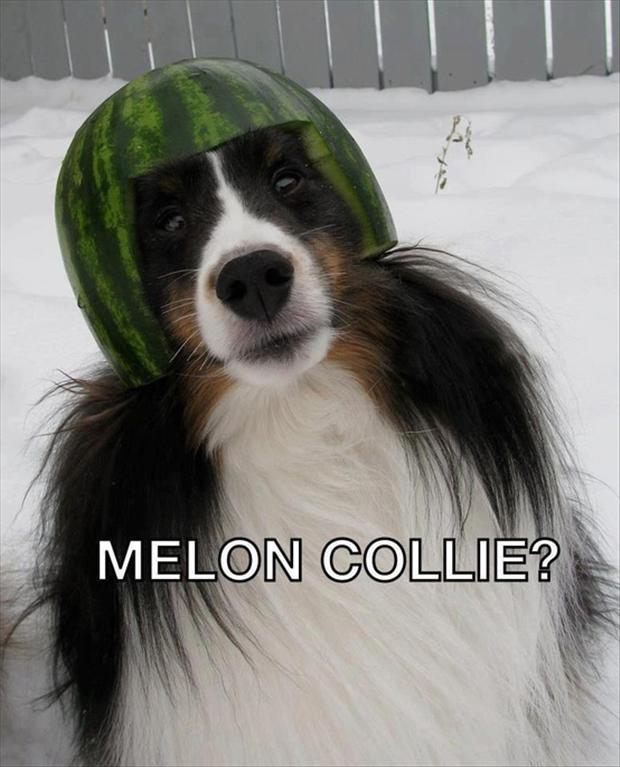 2 funny dog wearing a watermelon hat, melon collie