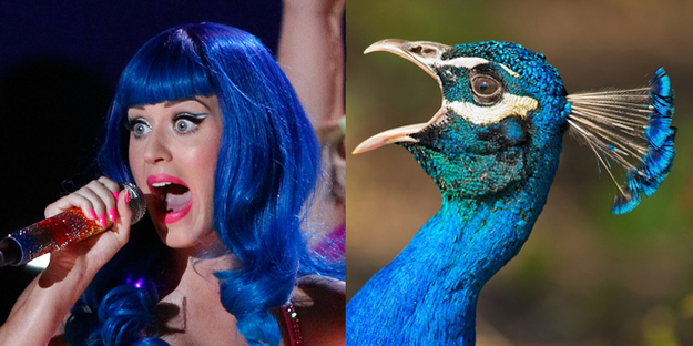 a Katy Perry A Showy Peacock