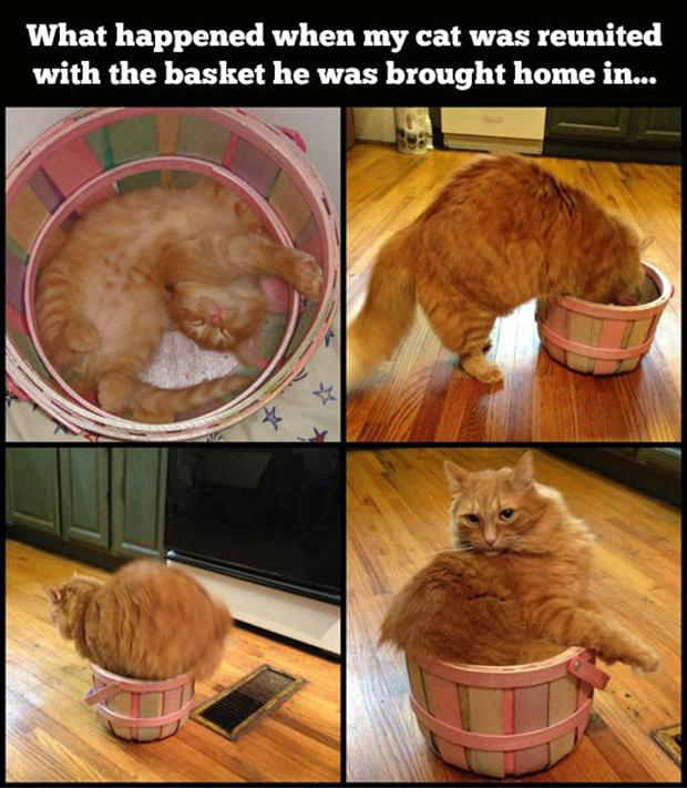 cat in a basket, funny pictures