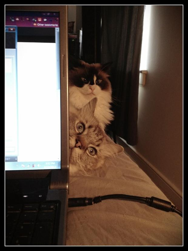 cats watching you work, funny cat pictures
