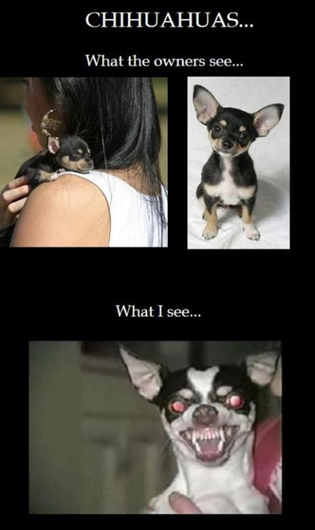 chihuahuas, funny pictures