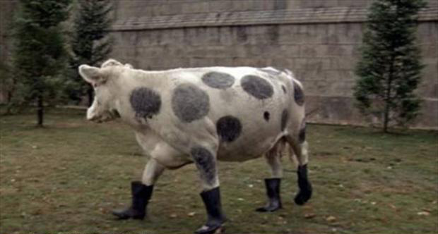 cow wearing boots, wtf pictures