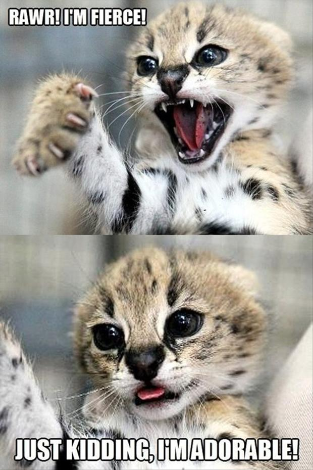 cute tiger, funny pictures
