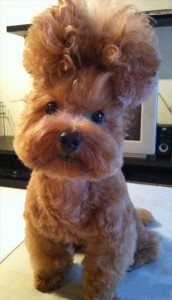 dog hair style, wtf animal pictures