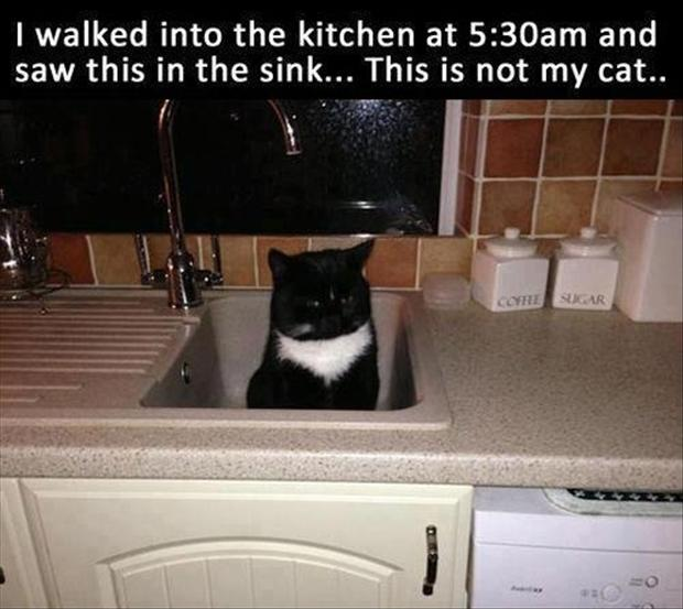 funny cats in the kitchen