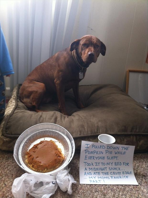 funny dog shaming, eating the pumkin pie