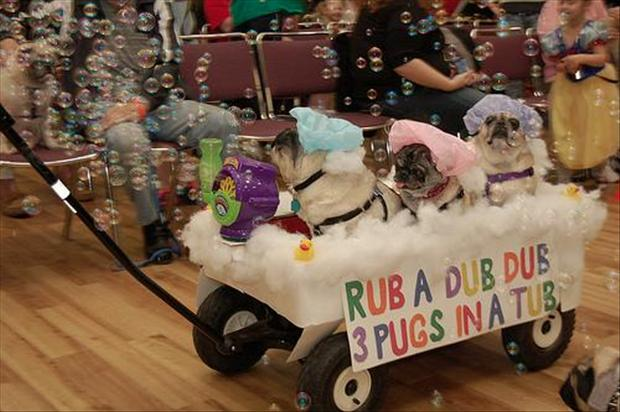 funny pug dogs, 3 pugs in a tub