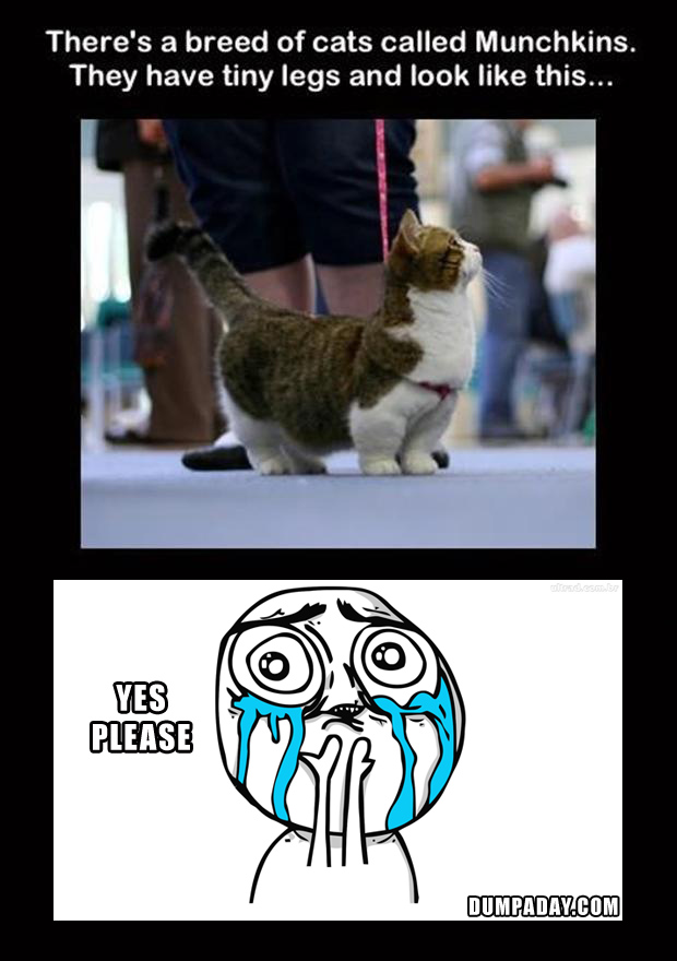 munchkin cats, funny pictures