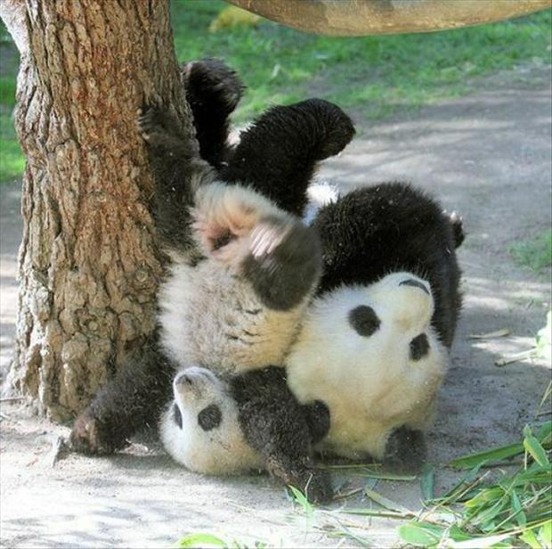pandas playing, funny animal pictures