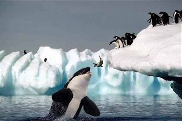 perfectly timed pictures, penguin getting ate by killer whale