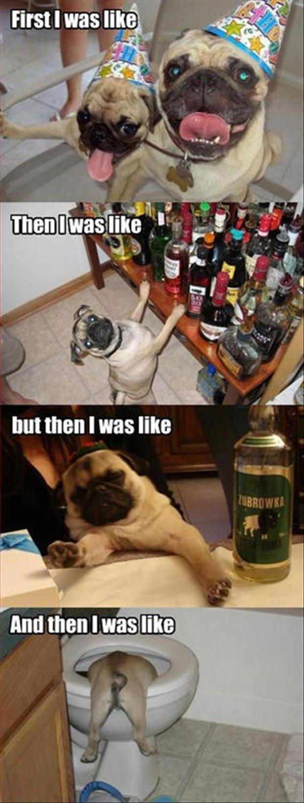 pug dog, funny party pictures