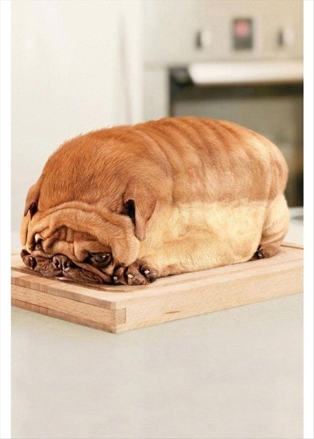 Pug Dog Loaf Of Bread Dump A Day