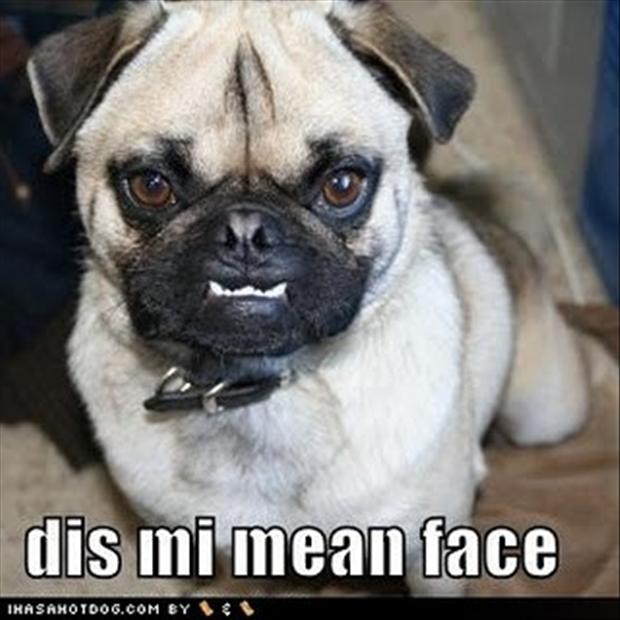 pug dog, mean face