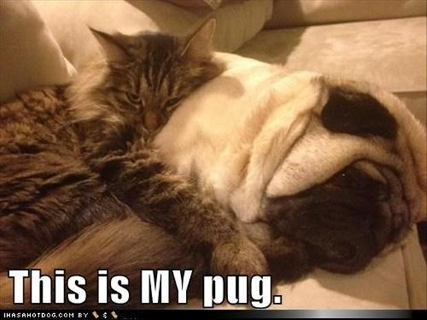 pug dogs, cats love pugs