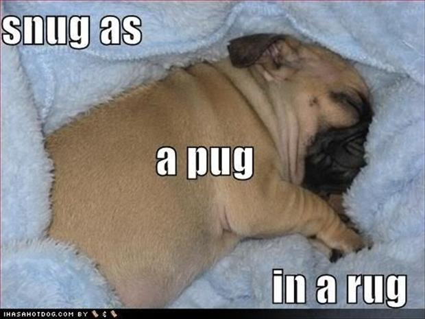 pug dogs, snug as a pug,