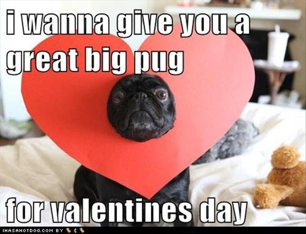 pug dogs, valentines day pictures