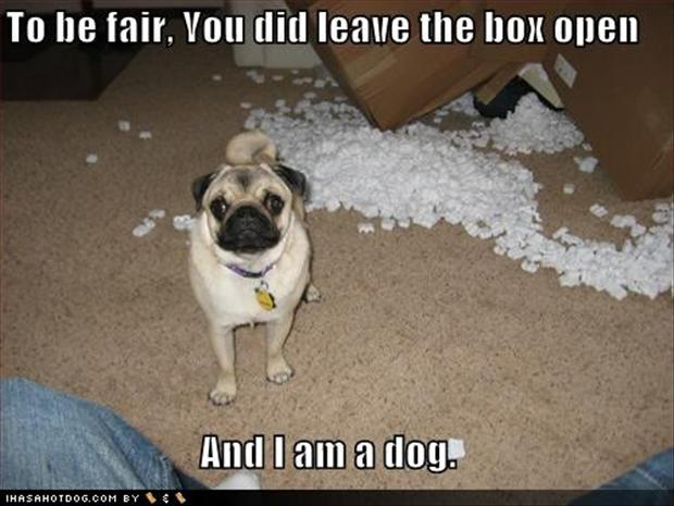 pug dogs, you left the box out, he made a mess