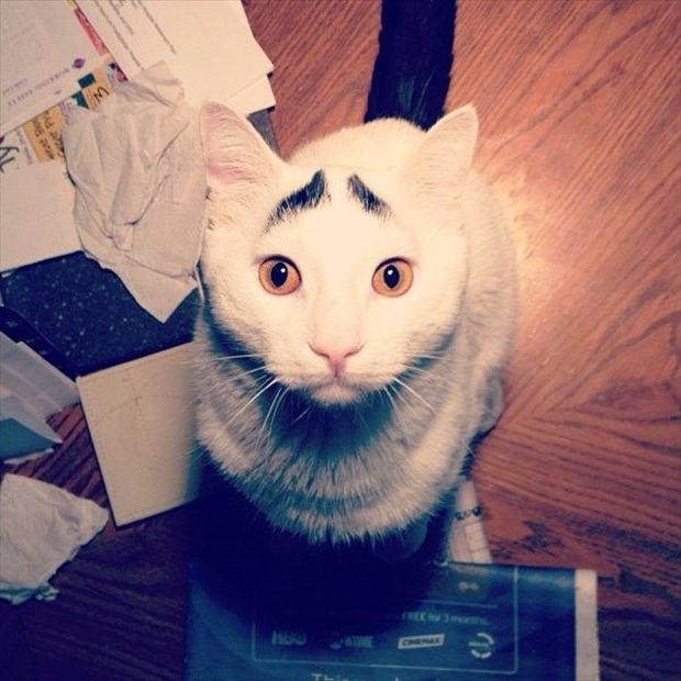 sam, cat with eyebrows, funny pictures (2)