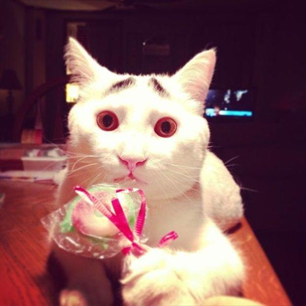 sam, cat with eyebrows, funny pictures (8)