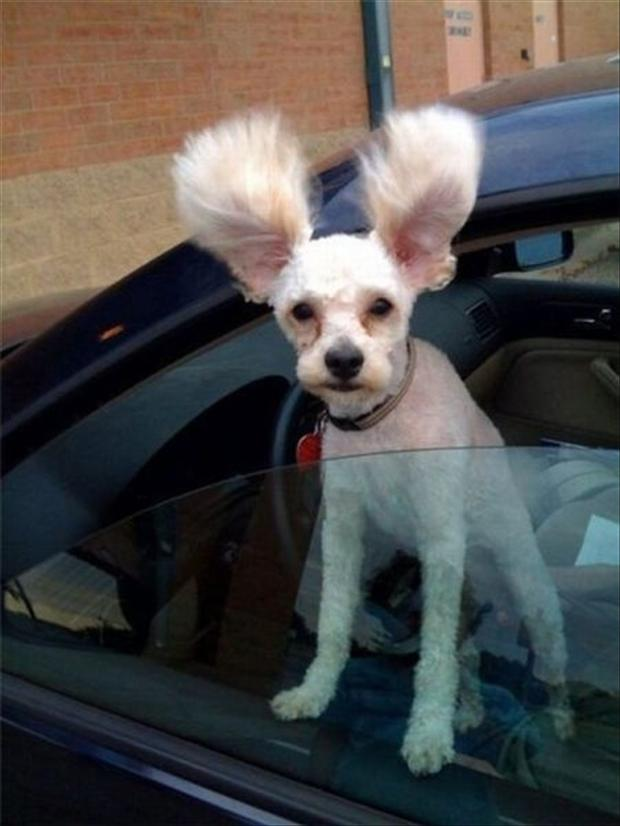 small dog with big ears, funny animal pictures