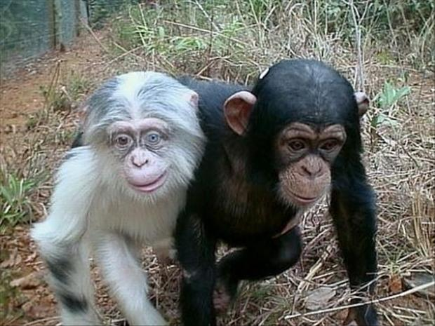 Albino Chimp