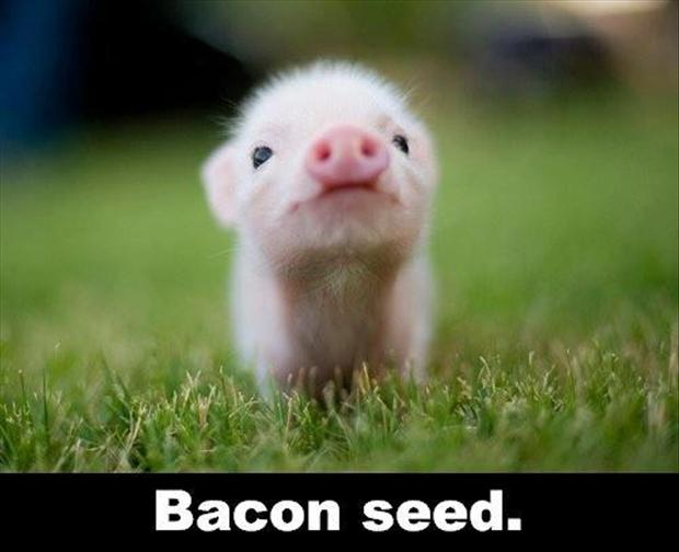 bacon seeds