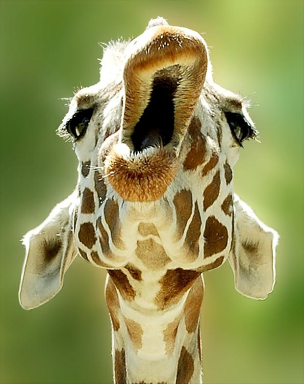 Funny Animal Pictures Giraffe