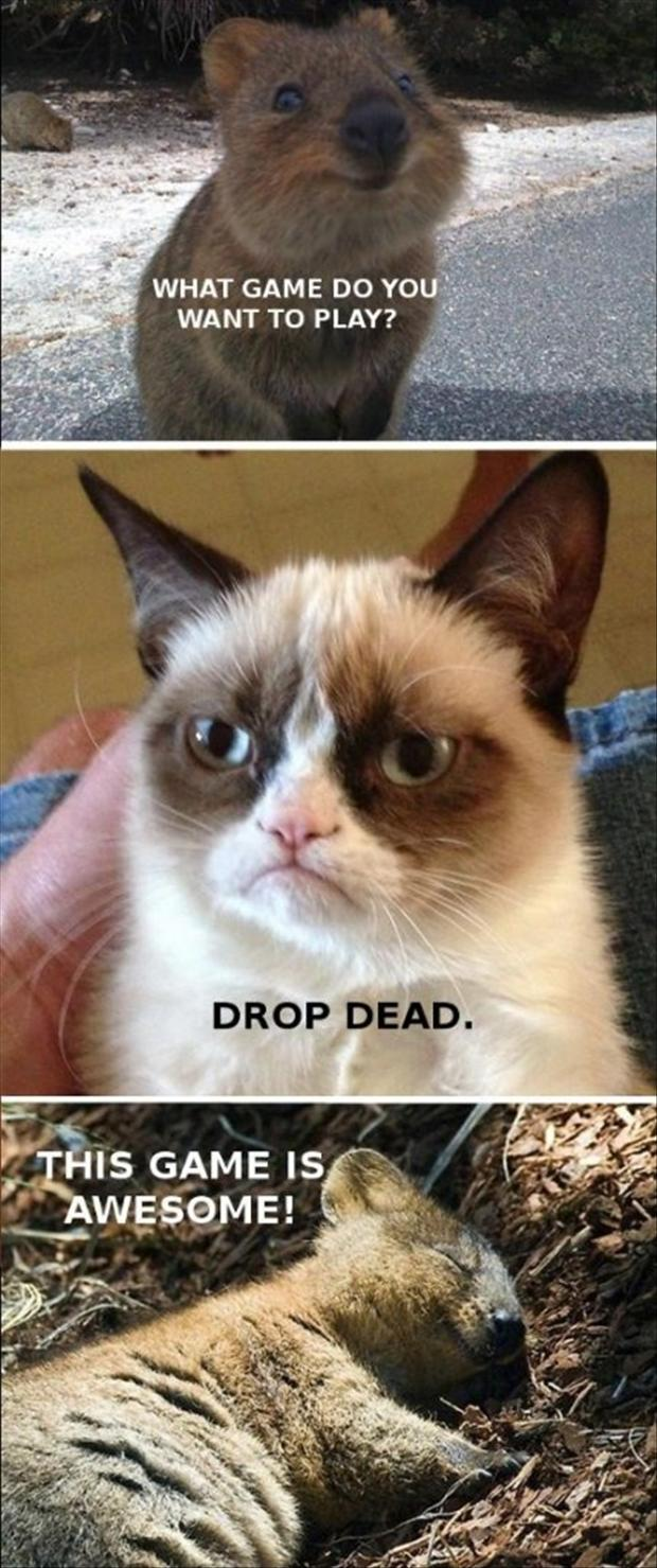 funny animal pictures, grumpy cat