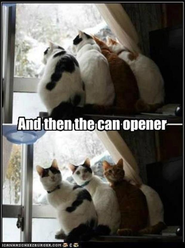 funny cats hear a can opener