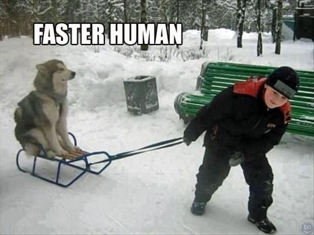 funny dog sledding