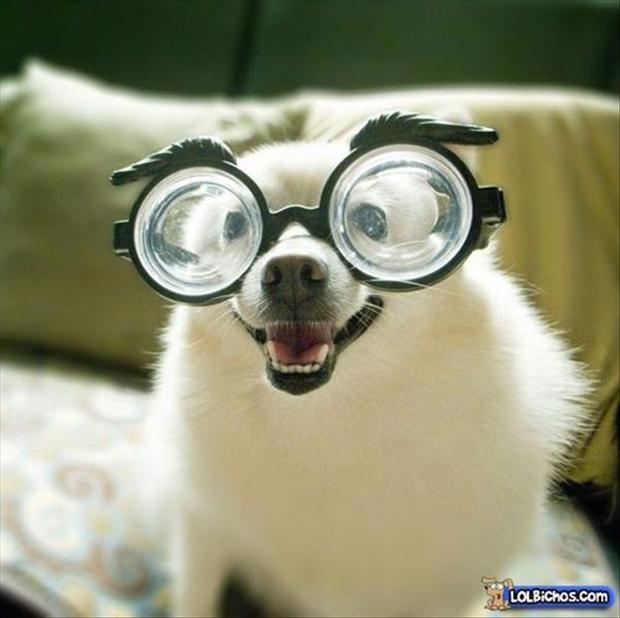 funny dogs wearing glasses