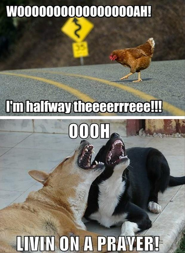 funny pictures, chicken crossing the road