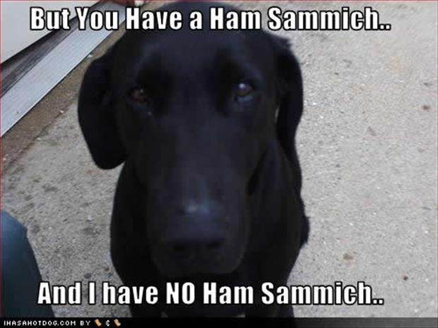 funny pictures, dog wants a ham sandwich