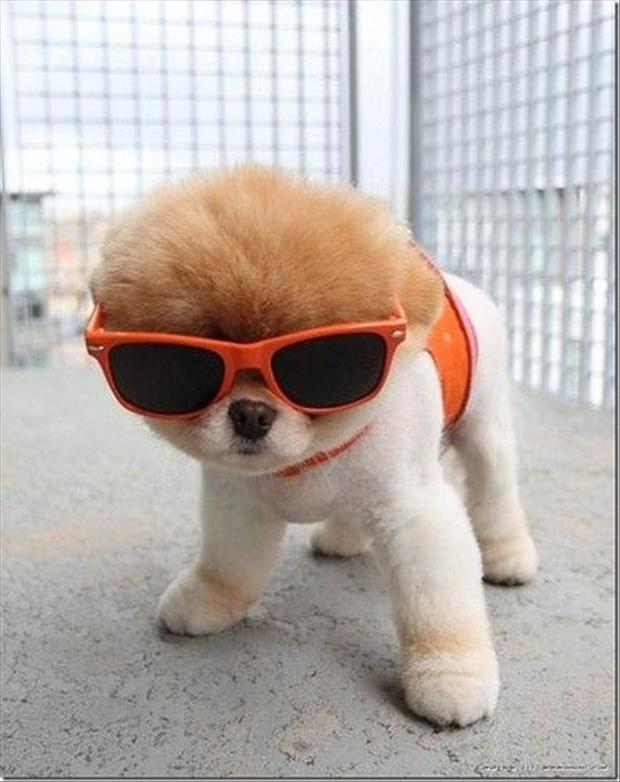funny pictures, dog wearing sunglasses