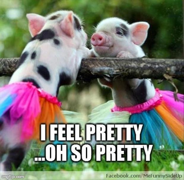 funny pictures, pigs