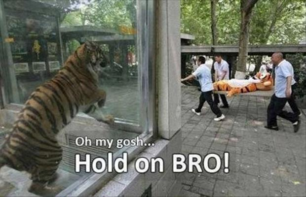 funny pictures, tiger