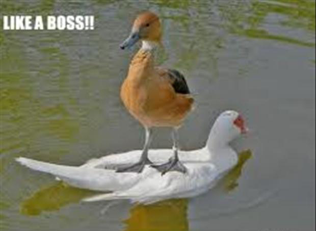 like a boss, ducks