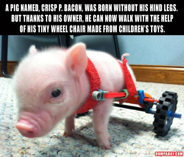 the crisp p bacon pig born with no hind legs