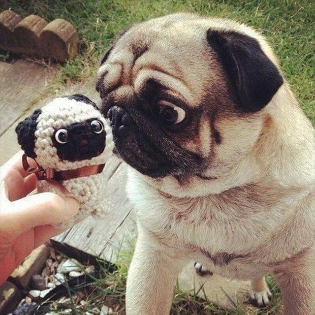 Funny Animals-pug expression