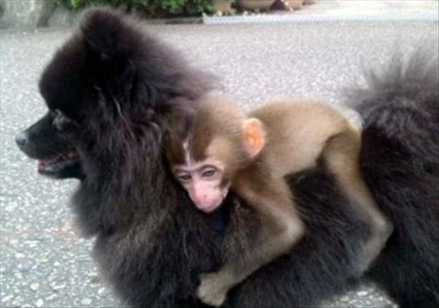 Monkey-hug-rides-puffy-dog