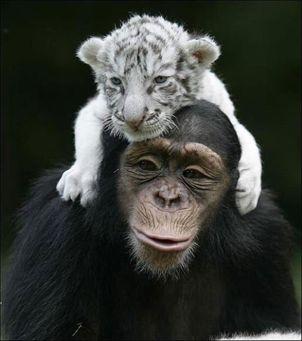 White-tiger-on-monkey