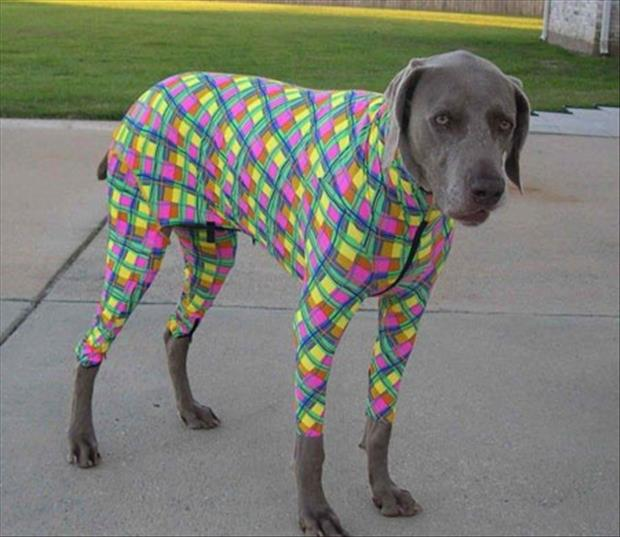a funny dogs dressed up (15)