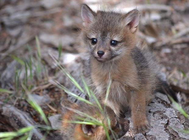 Baby gray foxes - photo#4