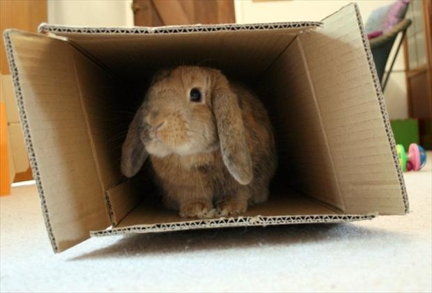 bunny rabbit in the box